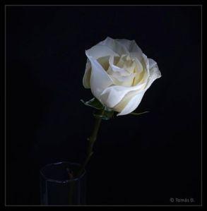 witte roos op donker veld